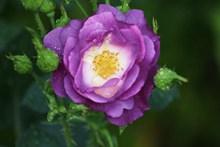 紫色玫瑰花微距精美图片