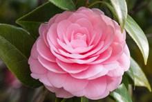 粉色山茶花花朵精美图片