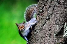 树上灰色小松鼠高清图片