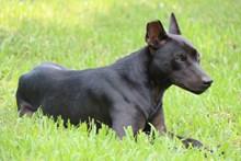 纯黑色小狗狗图片大全