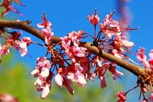 樱花枝枯萎樱花高清图片