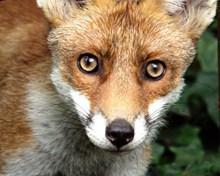 狐狸头部特写高清图片
