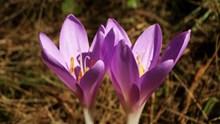 两朵紫色番红花图片下载