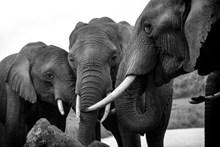 野生大象灰白图片素材