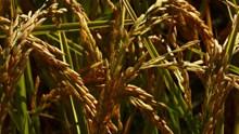 成熟水稻稻穗图片大全