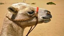 沙漠骆驼头部特写图片下载