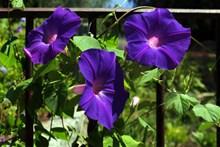 盛开紫色牵牛花图片下载