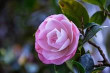 盛开粉色茶花花朵图片下载