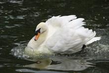 水面大只白天鹅高清图