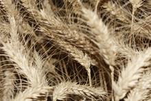 小麦成熟麦穗特写精美图片