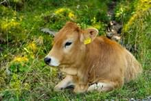 小黄牛休息图片下载