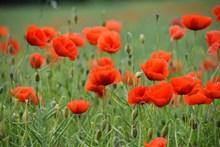 红罂粟花观赏图片下载