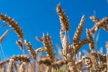 麦子麦穗成熟图片下载