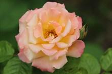 双色玫瑰花朵图片
