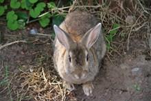 一只灰色野兔子精美图片