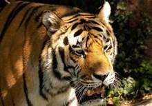 森林大老虎高清图片