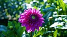 紫色大丽花花朵图片下载