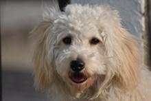 白色长毛宠物狗精美图片