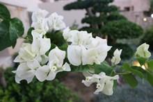 白色三角梅花朵图片