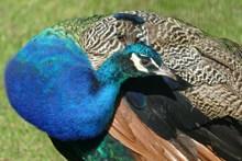 蓝色羽毛孔雀图片大全