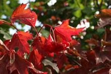 火红树叶图片