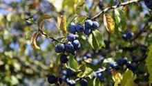 蓝莓果成熟高清图片