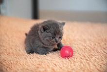 短毛灰色猫图片