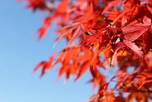 秋天红枫叶摄影图片下载
