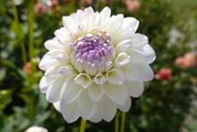 洁白大丽花花朵图片素材