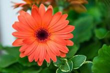 盛开橙色花朵高清图