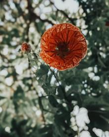 盛开的金铃花精美图片