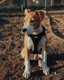 巴仙吉犬图片下载