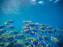 珊瑚礁上的刺尾鱼图片