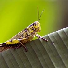 一只蝗虫高清图片