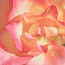 玫瑰花瓣微距高清图片