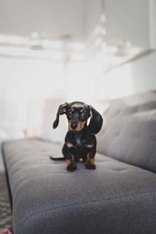 沙发上的小腊肠小狗精美图片