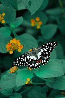 采花粉蝴蝶精美图片
