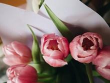 粉红色郁金香鲜花高清图片