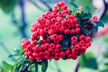 火棘树上的红色浆果高清图