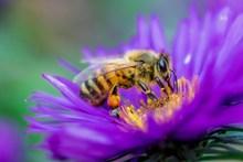 蜜蜂采蜜图片下载