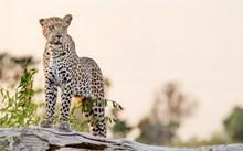 野生豹子高清图片