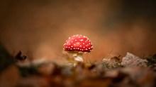 红色野蘑菇微距图片