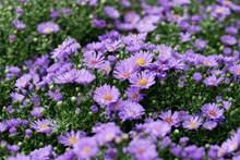 漂亮紫色雏菊花图片大全