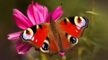 花朵上的孔雀蝴蝶图片大全