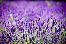 紫色薰衣草花海观赏图片下载