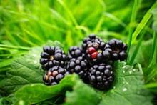 黑莓浆果摄影图片大全