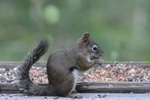 灰色松鼠进食精美图片