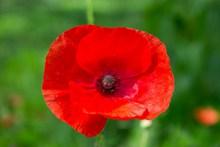 大红色罂粟花图片素材