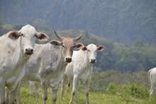 白色牛群放牧图片下载
