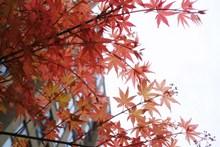 枫树枝红叶风景高清图片